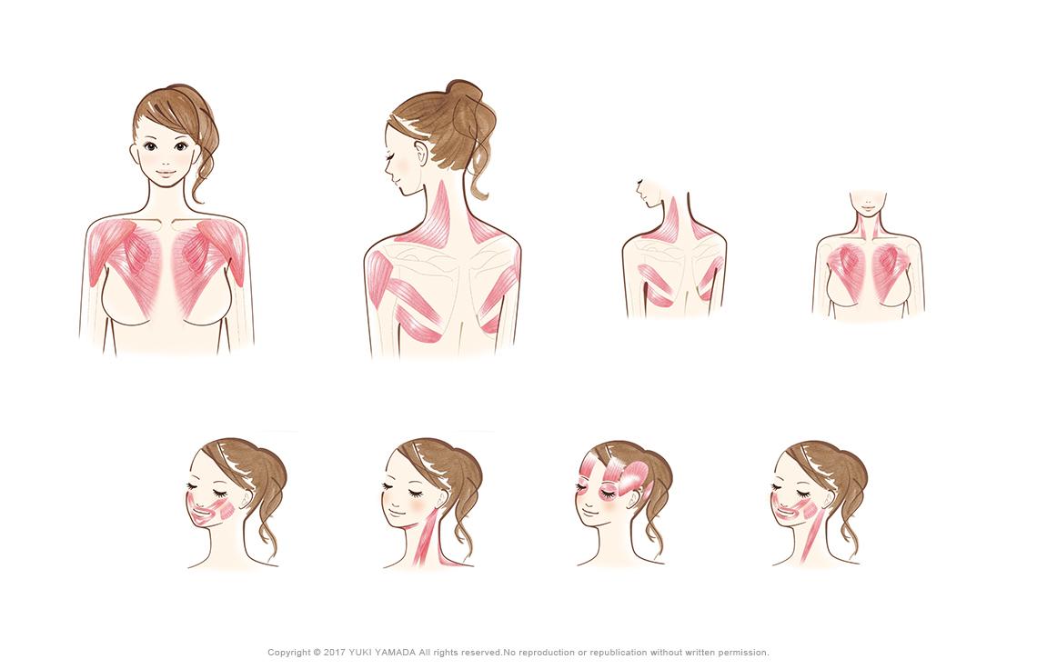 鎖骨周りの筋肉(僧帽筋・三角筋、小胸筋・大胸筋・小円筋)、表情筋などのイラスト