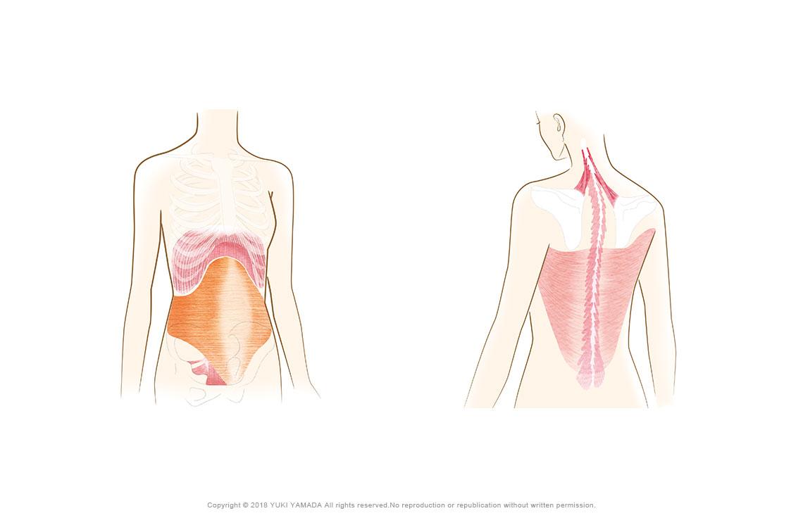 ここに効く(横隔膜、骨盤底筋、腹横筋、肩甲挙筋、多裂筋、広背筋など)のイラスト